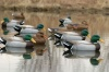 Flambeau Classic Mallard Duck Decoy - Pack of 6
